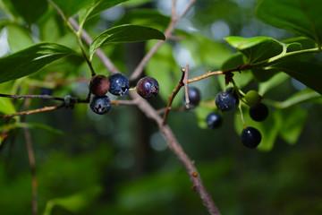 Fresh Organic Wild Lowbush Blueberries Ripening on Bush in the Forest