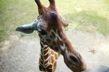 Close Up View of Giraffe Face From Above