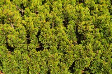 pinus mugo plant