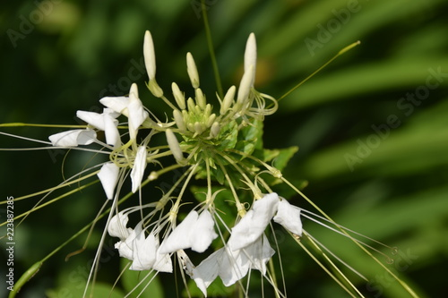Cosmos Fleur Blanche Magnifique Stock Photo And Royalty Free Images