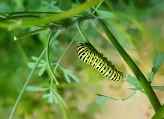 gros plan lumineux de la chenille verte bigarrée du papillon machaon