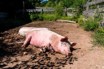 Schweine gemütlich liegend
