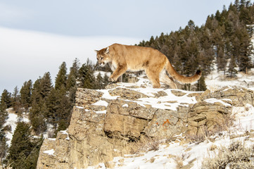 Wall Mural - Cougar on Rocky Cliff in Winter