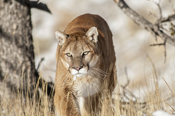 Photo sur Aluminium Puma Prowling Cougar in Trees