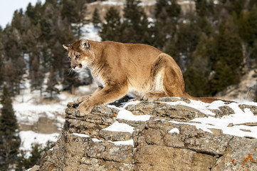 Wall Mural - Mountain Lion on Rocky Cliff