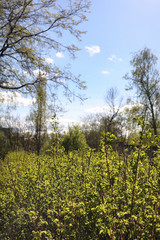 Spring nature. Leaves and bushes with the first green leaves in