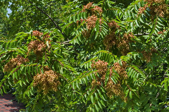 Leaves and red seed at  tree of heaven or Ailanthus altissima, Sofia, Bulgaria