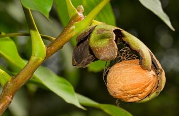 Ripe nut of a Walnut tree, nut, husk and leaves