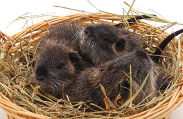 Three nutria in a basket.