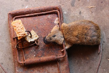 Mouse in the old mousetrap