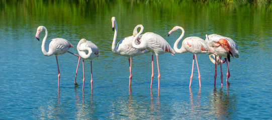 Some beautiful pink flamingos in a lake at Camargue natural park in Provence (France)