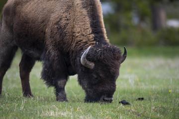 bison (Bison bison), Yellowstone NP, Wyoming