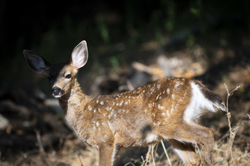 California mule deer (Odocoileus hemionus californicus) fawn in forest light