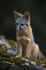 gray fox (Urocyon cinereoargenteus)