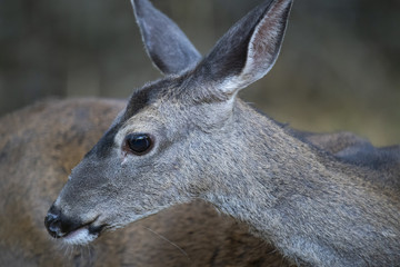 California mule deer (Odocoileus hemionus californicus) doe closeup