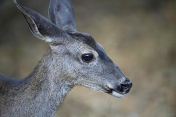California mule deer (Odocoileus hemionus californicus) doe closeup