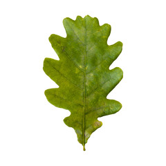 Autumn leaf of an oak tree on a white background