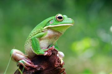 Whitelipped tree frog on wood, tree frog