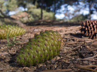 forest pinecone 20071125