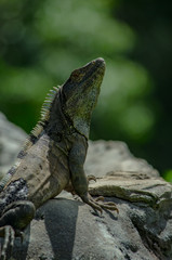 Iguana Sunning Close up