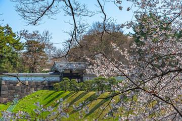 Cherry blossoms around Chidorigafuchi, Tokyo, Japan.