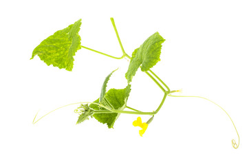 Stalk of cucumber with leaves and flower