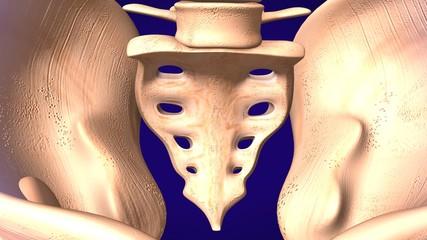 Hip Pelvic Sacrum Bone Anatomy with Circulatory .3d illustration.