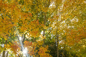 Golden Autumn leaves in Mount Macedon near Melbourne Victoria, Australia