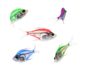 Aquarium fish, colorful fish isolate on white (Siames glassfish )