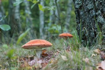 Two big leccinum mushrooms grows near the tree. Orange cap boletus grow in wood. Beautiful edible autumn bolete