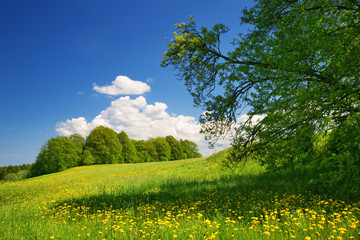 Wall Mural - Field with yellow dandelions and blue sky in spring