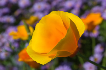 yellow flower with wide petals against a background of blue flowers