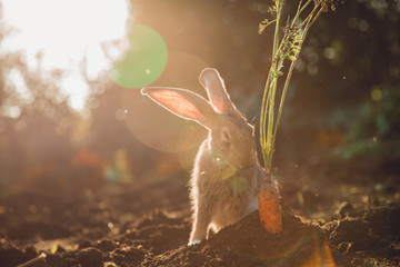 Brownish gray rabbit hare giant on backdrop of garden. Sun light. Pest for farm