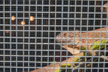 Colorful Lizards in the cage.