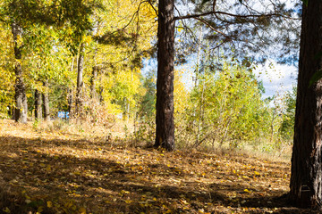 Autumn forest on a Sunny day.Leaf fall in a mixed forest.