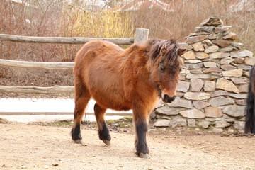 Brown shetland pony