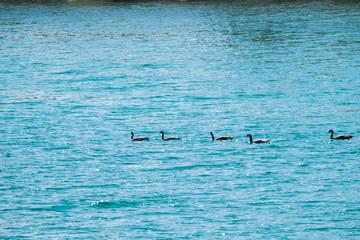 Ducks in green lake, BC, Canada
