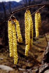 nocciolo  corylus avellana fiori maschili parco nazionale  appennino tosco emiliano reggio emilia emilia romagna