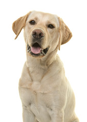 Portrait of a blond labrador retriever dog looking at the camera with mouth open seen from the front in a vertical image