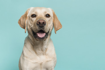 Portrait of a blond labrador retriever dog looking at the camera with mouth open seen from the front on a blue turquoise background