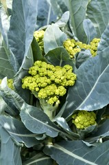 cauliflower grows in the garden