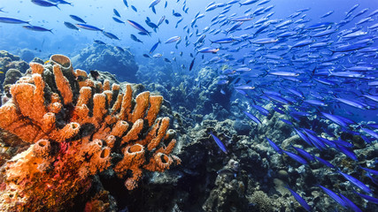 Seascape of coral reef / Caribbean Sea / Curacao with big sponges and school of fish in blue background
