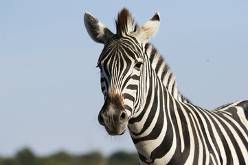 muzzle of a zebra against the sky