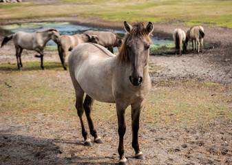 Wild Horse Duelmen