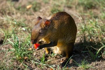 Aguti Rodent in wildlife