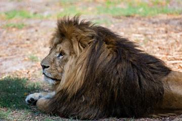 Wild Lion Cat