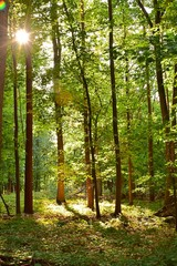 Wald Sonnenstrahlen grün Laub Abemd