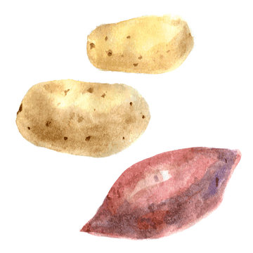 Yams and potato. Watercolor illustration. Isolated. vector