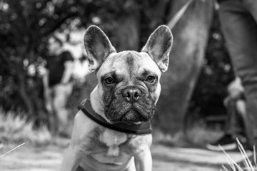 French Bull Dog. Bull dog. French.