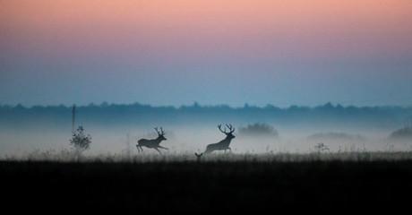 """Male deers run in a field in Republican landscape reserve """"Naliboksky"""" near the village of Kozliki"""